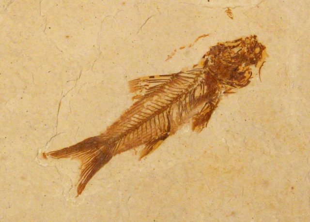 world of fossils  Amphiplaga, family Percopsidae   fossil world