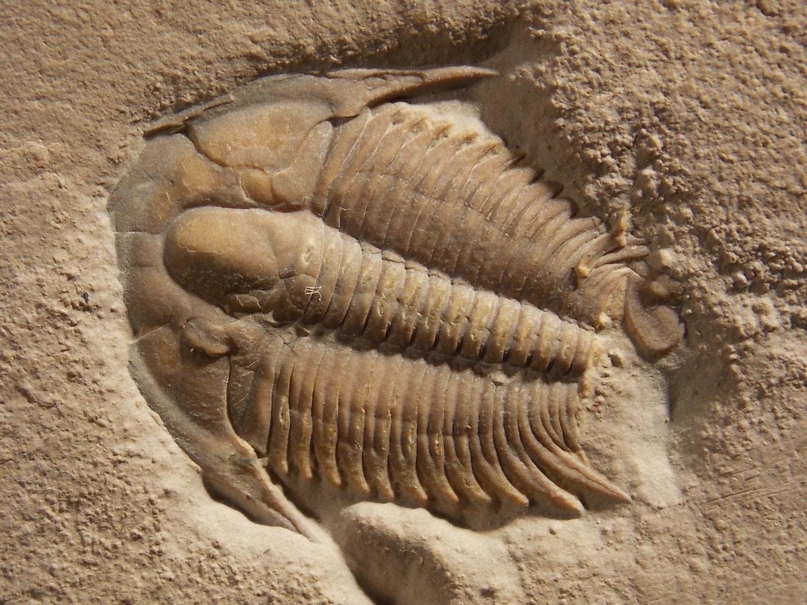 Lars krutak tatu lu tattoos from the dreamtime lars krutak -  9 Trilobite Fossil Modocia Typicalis Marjum Shale From Utah
